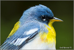 Northern Parula (130518-0047) (Earl Reinink) Tags: park ontario canada art nature point photography nikon flickr photographer image images earl flikr park provincial d4 art nikon rock photography images nature provincial lens ontario canada ontbirds fine earl photographer lenses reinink reinink d4 niagara