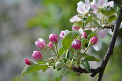 The Darling Buds Of May (SchweDan) Tags: tv czj darlingbudsofmay natureplus mariettelarkin