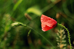 Poppies after the rain (Madalina M) Tags: pictures pink autumn light red summer flower color colour tree green fall love rain rose yellow coral kew gardens digital canon happy eos 50mm book leaf spring stem colorful shoot with heart bright image blossom head cluster picture salmon fuchsia gimp vine images spray petal made soul poppies buy bloom spike after annual bud colourful flush blush dslr purchase herb survivor textured perennial posy enthusiasm beuty roseate inflorescence pompon floweret floret efflorescence 600d