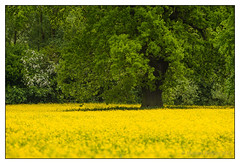 Buttercup Meadow 4 (mikeyp2000) Tags: flowers trees flower tree green art field yellow buttercup teleconverter buttercups a99 mygearandme