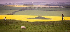 Hubby goes a-walking (Fairy_Nuff (new website - piczology.com!)) Tags: castle field yellow solitude view stu sheep hill dorset solitary maiden dorchester rapeseed msh0613 msh06135