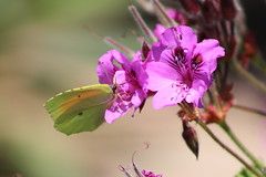 Butterfly (sharongellyroo) Tags: portugal sunshine holidays insects critturs santabarbaradenexe quintadafelicidade