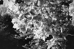 Leaves & light (cornishdjango photography) Tags: trees light bw sunlight film nature leaves silver blackwhite leaf cornwall rangefinder ricoh 500g efex