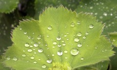 Surface Tension. (mcginley2012) Tags: macro green nokia droplets leaf raindrops waterdrops n8