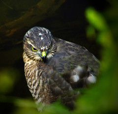 Sparrowhawk Chick Jesmond Dene