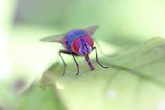 Fly (K-Jensen) Tags: macro up closeup bug fly eyes close small micro t3i 600d