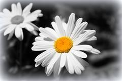 Daisy nice! (Mike-Lee) Tags: flowers summer colour macro closeup garden sheffield daisy selectivecolour july2013