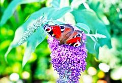 Don't they just love Buddlias /. (smiffy1932) Tags: butterflies flowercloseups