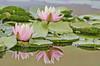Lotus Bloom (Riddhish Chakraborty) Tags: como flower color reflection leaves horizontal pond stpaul floating arboretum conservatory recreation lowkey lotuspetal blinkagain