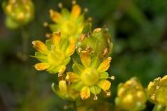 Yellow Mountain Saxifrage, Saxifraga aizoides,  stream near Lochan Hakon (=Hakel) near Tongue, Sutherland, Scotland   DSC_8208 (Cladoniophile) Tags: