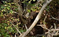 Black Bear Cub (Ursus americanus) (Photography Through Tania's Eyes) Tags: bear trees canada nature animal fauna cub log flora photographer bc britishcolumbia okanagan wildlife vegetation fir blackbear okanaganvalley ursusamericanus peachland blackbearcub hardyfallsregionalpark taniasimpson chocolatecub