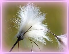 Linaigrette (aprs dition )/Eriophorum  angustifolium/Cotton grass (raym5) Tags: fleurs soie auvergne tourbire linaigrette raym5