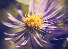 Aster  feuilles de linaire (ionactis linariifolia) (~ G I R a R D I - P H O T O G R a P H I E ~) Tags: flowers macro texture fleurs nikon violet qubec mauve wildflowers aster flore fleurssauvages florabella macro105mm d7000 asterfeuillesdelinaire