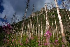 Dead forest (DoctorMP) Tags: las flowers summer mountains forest landscape dead rocks poland polska valley gry dolina tatry kwiaty tatras tatra skay lato tpn martwy krajobraz wysokie roztoka roztoki