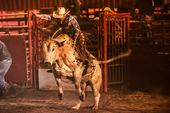HVD-8551.jpg (HVargas) Tags: horses horse newyork cowboys bareback team unitedstates cattle wrestling barrel bull racing lakegeorge riding toros rodeo cowgirl steer livestock bullriding saddle bronc tiedown bucking vaqueros roping cattleherding herding steerwrestling barrelracing novillos buckinghorse lakeluzerne teamroping reses saddlebroncriding barebackbroncriding tiedownroping paintedponyrodeo