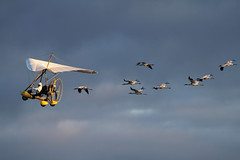 Operation Migration (sarasonntag) Tags: fall wisconsin florida aircraft cranes ultralight migration operation whooping