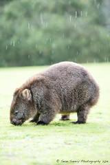 Time for Dinner (Sean Savery Photography) Tags: wildlife sony australia tasmania wombat a99 narawntapunationalpark tamron70200mmf28divcusd