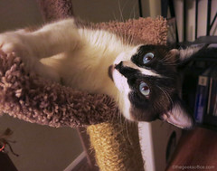 Lily Sideways (soulreaver99) Tags: cats pets kittens