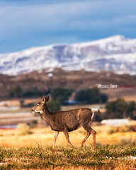 Deer on the lone prairie (Michael Bandy) Tags: wild animal nikon dof deer 300mm wildanimal wyoming cody codywyoming d80 nikond80 nikkor300f4