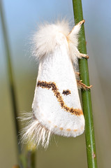 One of two moths on a twig. (jeans_Photos) Tags: park york moth national westernaustralia wandoo catchmentroad
