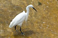Santa Ponca, Little Egret (Cardo Photos) Tags: espaa beach birds spain wildlife playa mallorca majorca platja baleares balears calvia balearics egret santaponca santaponsa