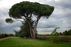 Stone Pine Tree (kloniwotski) Tags: tree riverthames stonepine hamptoncourtpark tokina2035mmf3545