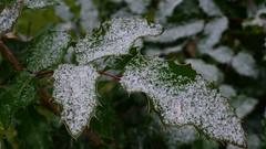 Frosty roseleaves (EilaK: Visit my nice galleries too!) Tags: frosty ruusunlehti huurretta