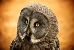 Strix (gathmelech) Tags: bird nature forrest owl strix