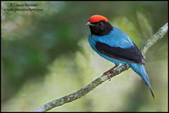 Blue Manakin (Chiroxiphia caudata) (Glenn Bartley - www.glennbartley.com) Tags: brazil bird birds animal animals photography wildlife aves birdwatching animalia avian animalsinthewild colorimage colourimage atlanticrainforest glennbartley bluemanakinchiroxiphiacaudata