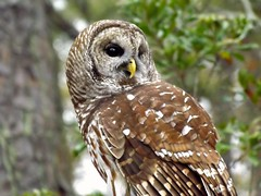 The Beauty of a Barred Owl (ChicaD58) Tags: bird fall nature outdoors ngc raptor owl rescued birdofprey barredowl rehabilitated topshots birdsofpreyshow pinemtga theoriginalgoldseal 176a callawaygardensdiscoverycenter