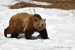 Orso (in ambiente controllato) (silvano fabris) Tags: nature beer animals wildlife orso