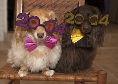 New Year dogs (Doxieone) Tags: new dog dogs happy chair pair year 2014