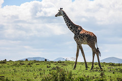 IMG_9971 (Ninara) Tags: nairobi safari giraffe gamepark riftvalley naivasha walkingsafari masaigiraffe crescentisland naivashalake