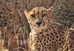 That Cheetah Stare (The Spirit of the World ( On and Off)) Tags: africa bush wildlife safari cheetah namibia bigcats southernafrica okonjima wildlifereserve africananimal cheetahportrait wildlifeportrait