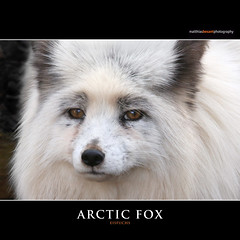 Displaying 15 gt images for cute arctic fox with blue eyes