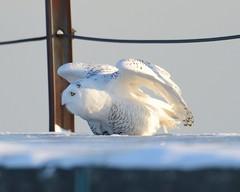 2013-12-26 Montrose Point 5 (JanetandPhil) Tags: birds nikon lakemichigan nikkor lincolnpark d800 snowyowl chicagoil chicagoparkdistrict montrosepoint buboscandiacus 600mmf4 2013forestpreservesvariouslocations