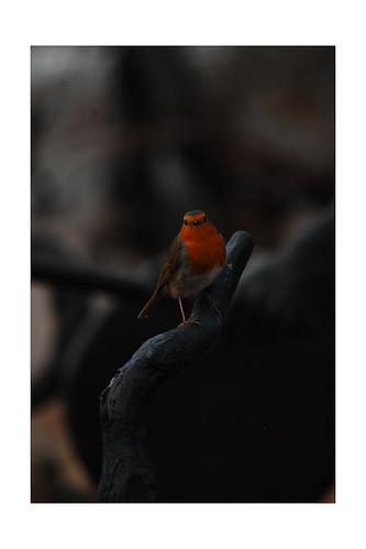 Erithacus rubecula [Robin]: Eden Project: 23/01/2014