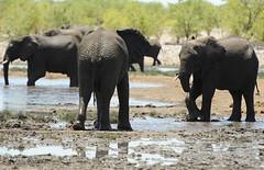 Elefanten Etosha