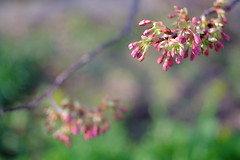 "Cherry blossoms called ""Kawazu Zakura"" (Hideo N) Tags: flower color japan 50mm spring fuji blossoms summicron kawazu xpro1 fujifilmxpro1"