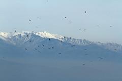IMG_1004 (berserker170) Tags: buitre vulture eos 7d canon mountain montaña monfragüe invierno winter flickrexploreme