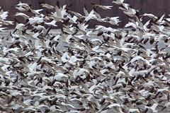 Middle Creek Snow Goose Migration (WabbyTwaxx) Tags: county snow creek geese state pennsylvania wildlife goose reservoir management national area lancaster middle migration