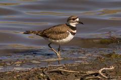 Shorebird Killdeer (MelRoseJ) Tags: california nature birds northerncalifornia unitedstates sony antioch a57 contraloma eastbayregionalparks sonyalpha sal70400g mygearandme infinitexposure