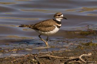 Shorebird Killdeer