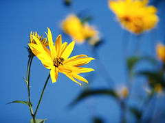 From September (12) (Vlachbild) Tags: nature animal natur daily bee naturephotography outdoorphotography insectsarachnids minoltaaf100mmf2 minoltaaf100mmmacrof28 sonyslta99