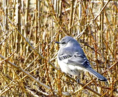 mockingbird in the forsythia in winter (forsythiahill) Tags: bird nature virginia hedge forsythia charlottesville mockingbird