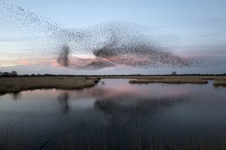 Otmoor murmurations  -  Straight off the camera