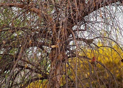 Cardinal Hiding In River Birch Tree