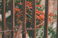 Rusty Fence (Inka56) Tags: fence rust berries