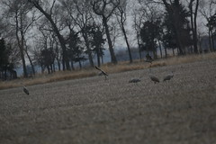 Sandhill Cranes on day 3 Neb in Mar (37) (pamswatercolors) Tags: calls pamelagunn kearney nebraska sandhillcranes march2017 birds photography canon5dmarkiii nature