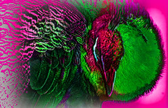 Pavo Real Fauve (seguicollar) Tags: pavo pavoreal fauve green pink rojo red morado plumas cabeza ojo pájaro animal imagencreativa photomanipulación art arte artecreativo artedigital virginiaseguí